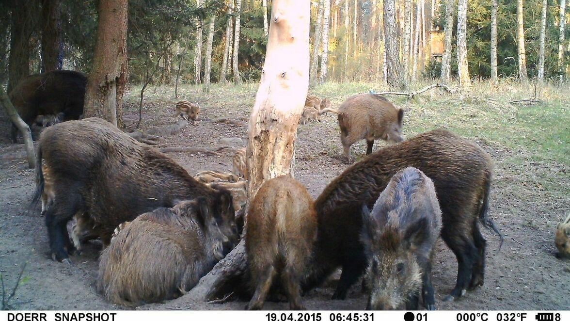Afrikanische Schweinepest: Immer mehr Wildschweine halten sich in Frankfurt (Oder) auf